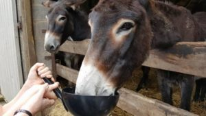 Donkeys being fed